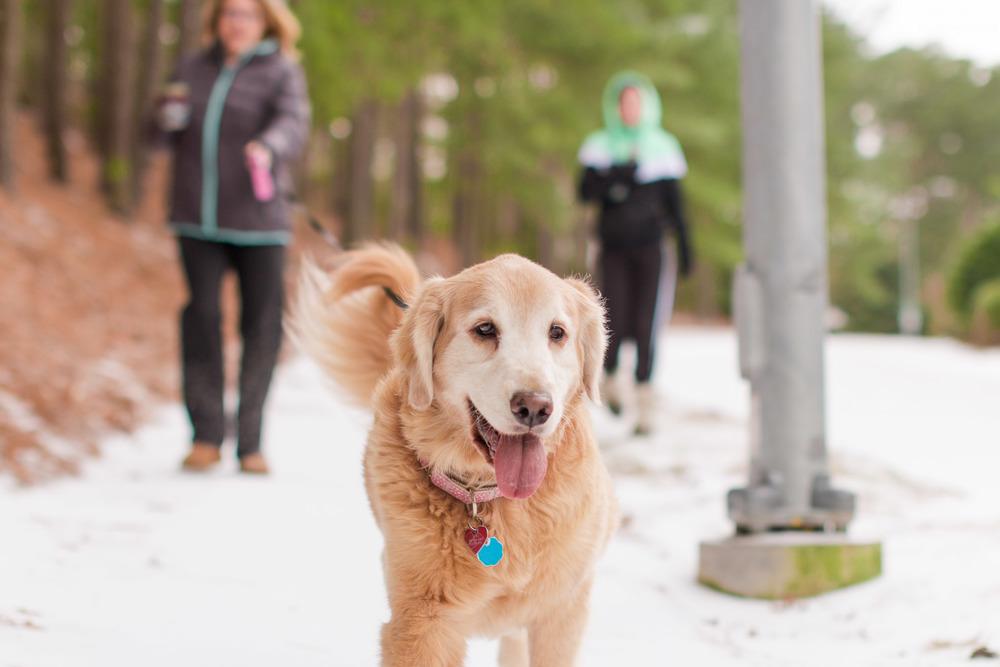 Golden Retriever puppy walking in the beautiful snow