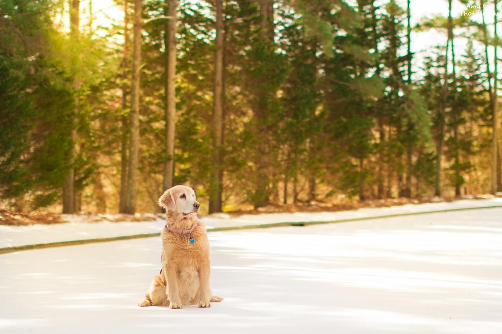 Golden Retriever puppy in the beautiful snow sunrise sunset