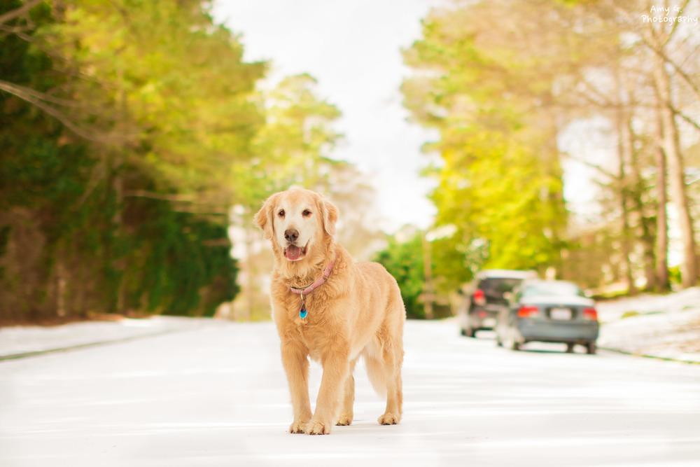Golden Retriever puppy in the beautiful snow
