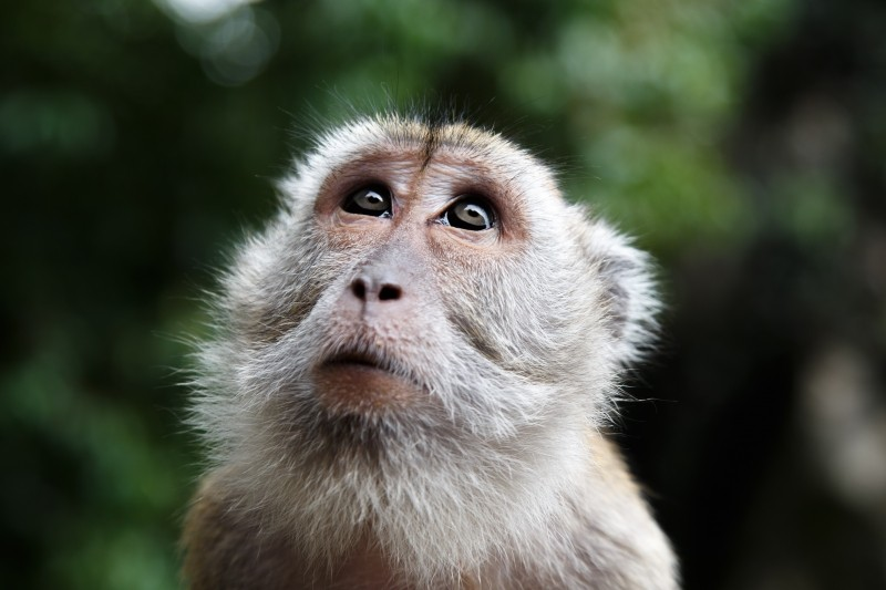 monkey-look-malaysia-face-wild-calm-jungle.jpg