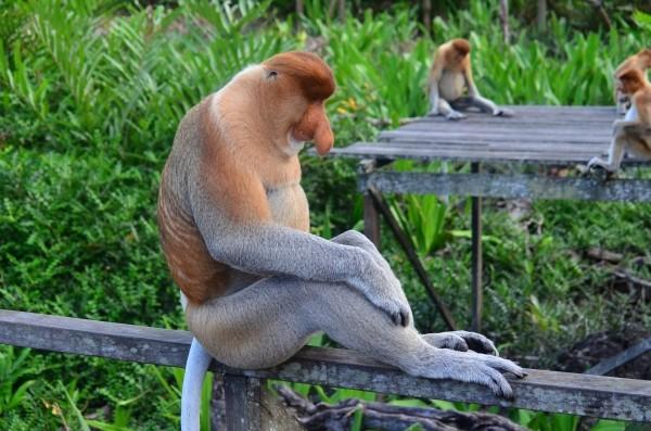 proboscis-monkey-proboscis-borneo.jpg