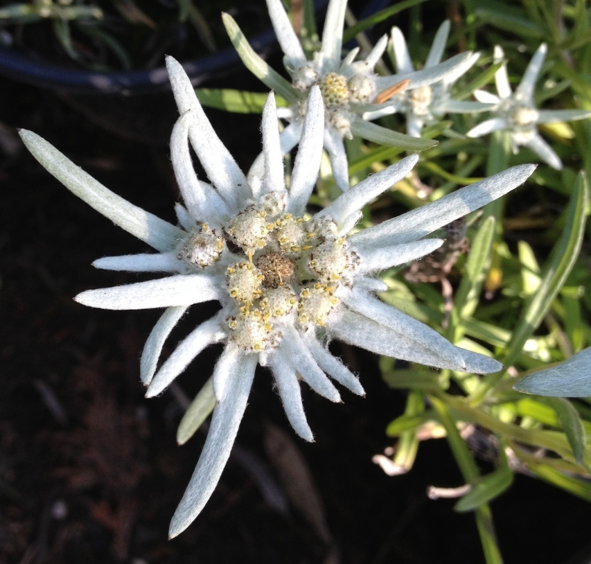 This is a one of our edelweiss flowers