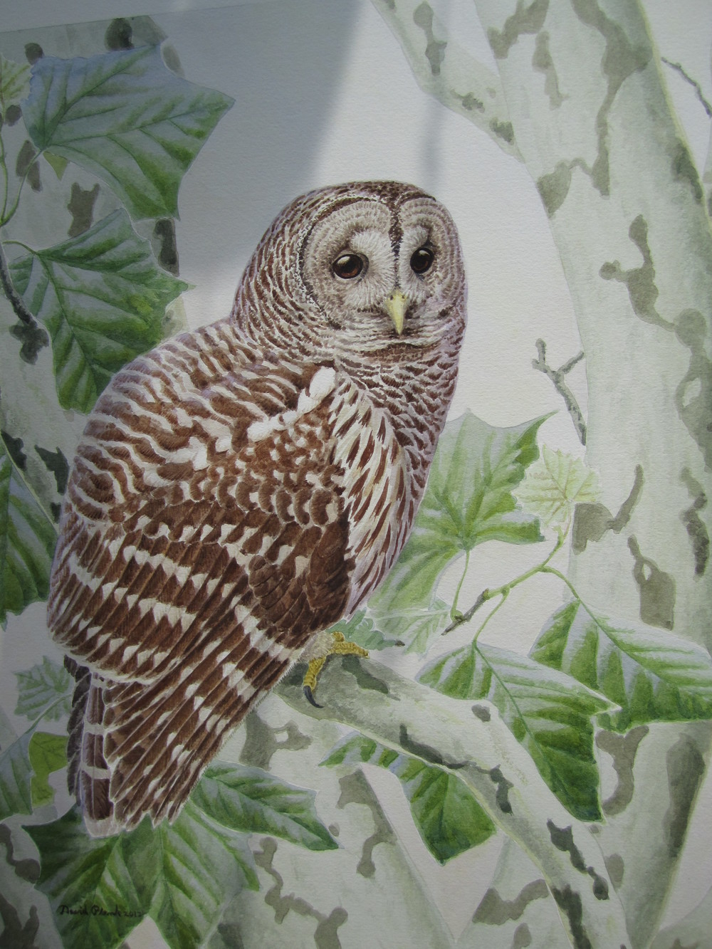"""Barred Owl in Sycamore""   Watercolor"