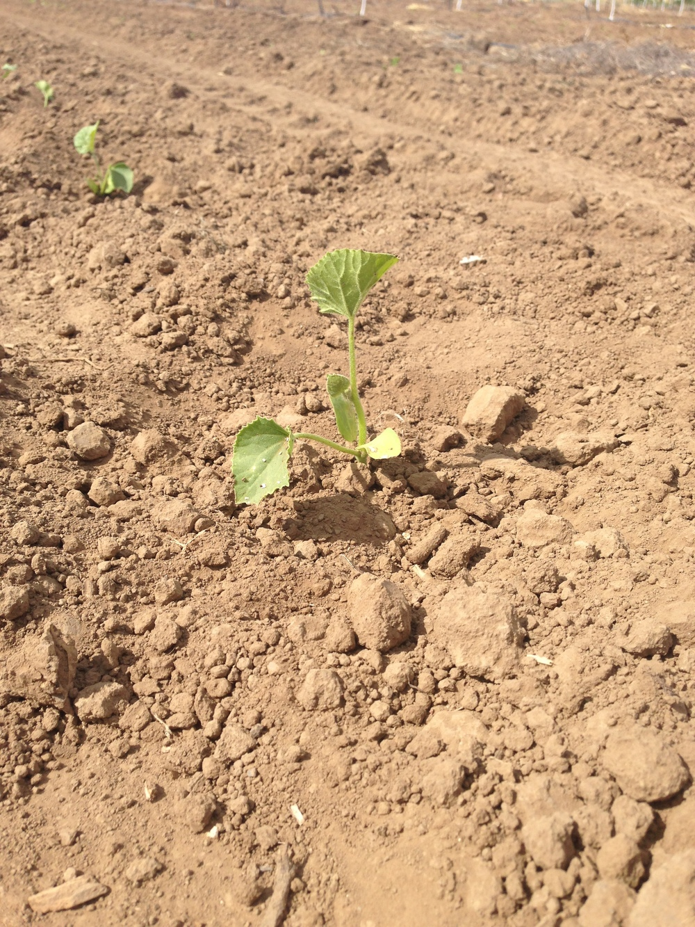 Melon Seedling Just Planted