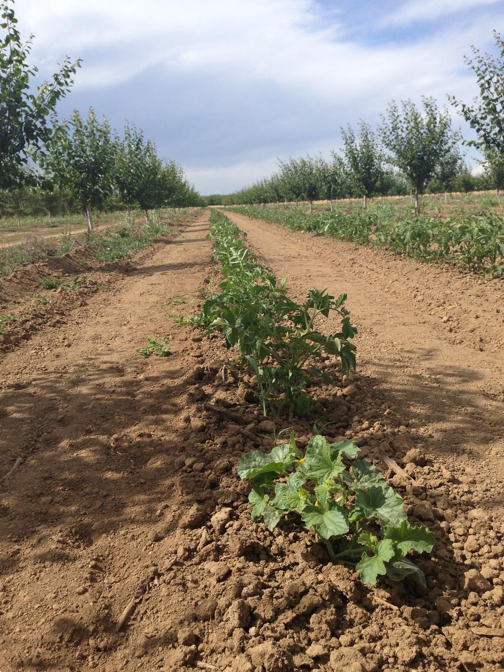 A Row of Melon Plants