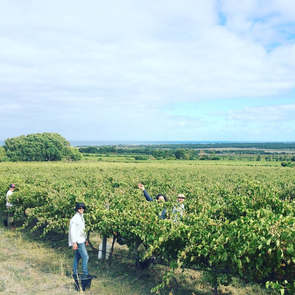 The Other Right - Picking Shiraz, Sellics Hill