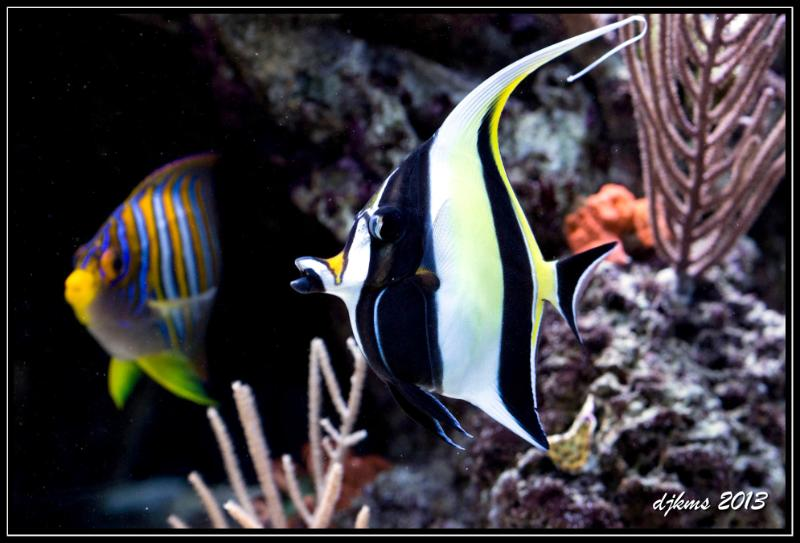 "Challenging the notion of ""Reef Safe"" Fish?    There are many beautiful fish out there that we would love to have in our home aquariums, but for those of us with   reef   aquariums, we consider a certain number of fish to not be completely ""reef safe"" so we avoid them, leaving no other option but to drool over those who have a ""fish only"" or ""fish only with live rock"" (fowlr) tank. Yet this doesn't seem to stop many aquarists. It seems that many are becoming bold enough to challenge this label and are experimenting with different kinds of fish, even going as far as to try the same species multiple times until they find a keeper.  As you can see in this photo,     AquaticLog user djkms     is trying his hand at keeping a gorgeous Moorish Idol and equally beautiful Regal Angelfish.   Are you willing to risk your coral or inverts in order to keep your favorite fish? What kind of non-reef safe fish would you be willing to try in your reef aquarium?  Let us know!"