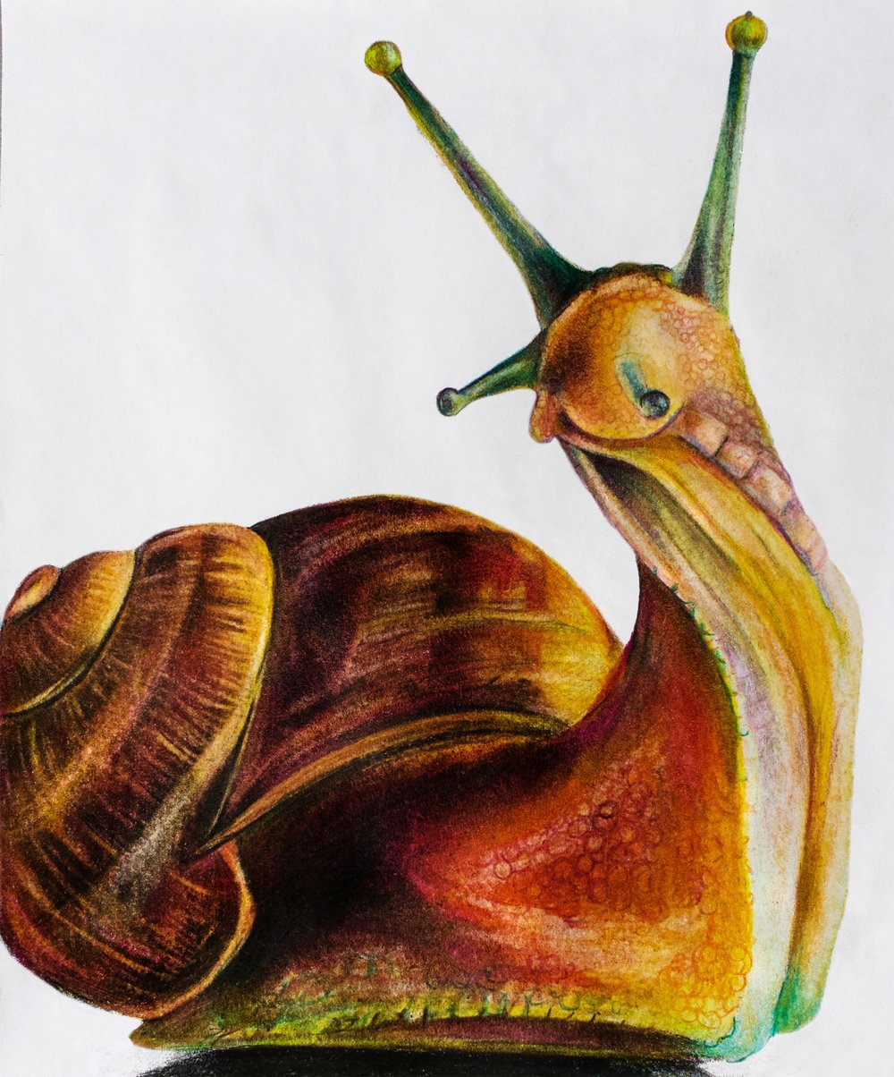 """Snail, 2017, colored pencils on paper, 8.5x11"""""""