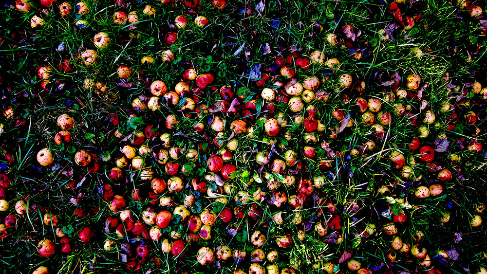 Crab apples on the farm