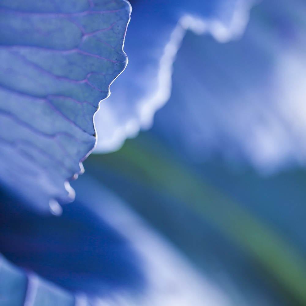 Scott David Gordon - Blue Cabbage (detail)