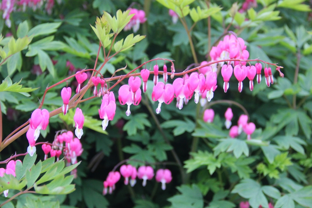bleeding hearts abound