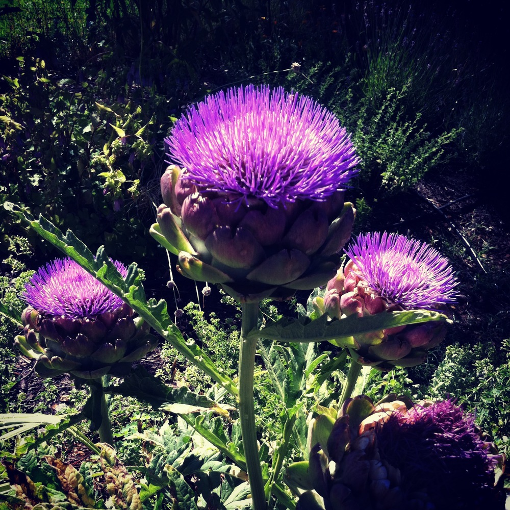 artichoke flowers or sea anemones??