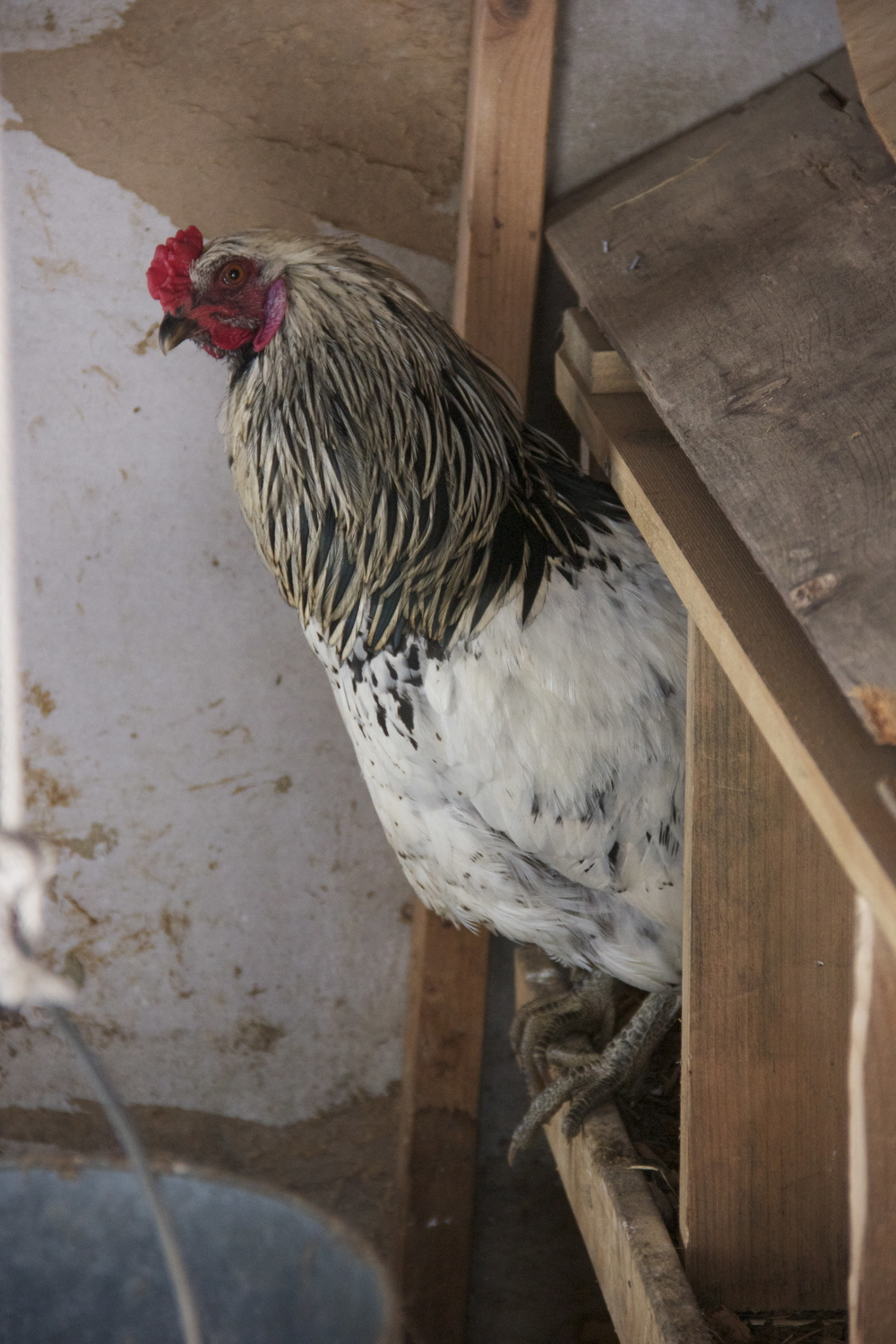 rooster all up in the next box, just trying to stay cozy