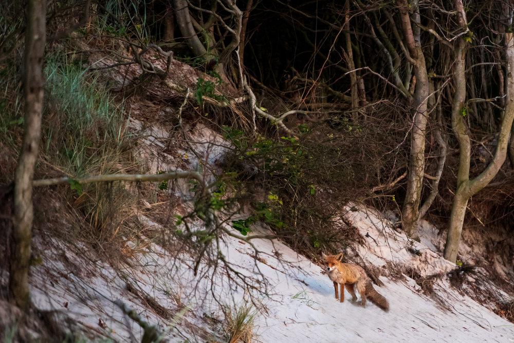 Fuchs am abendlichen Weststrand