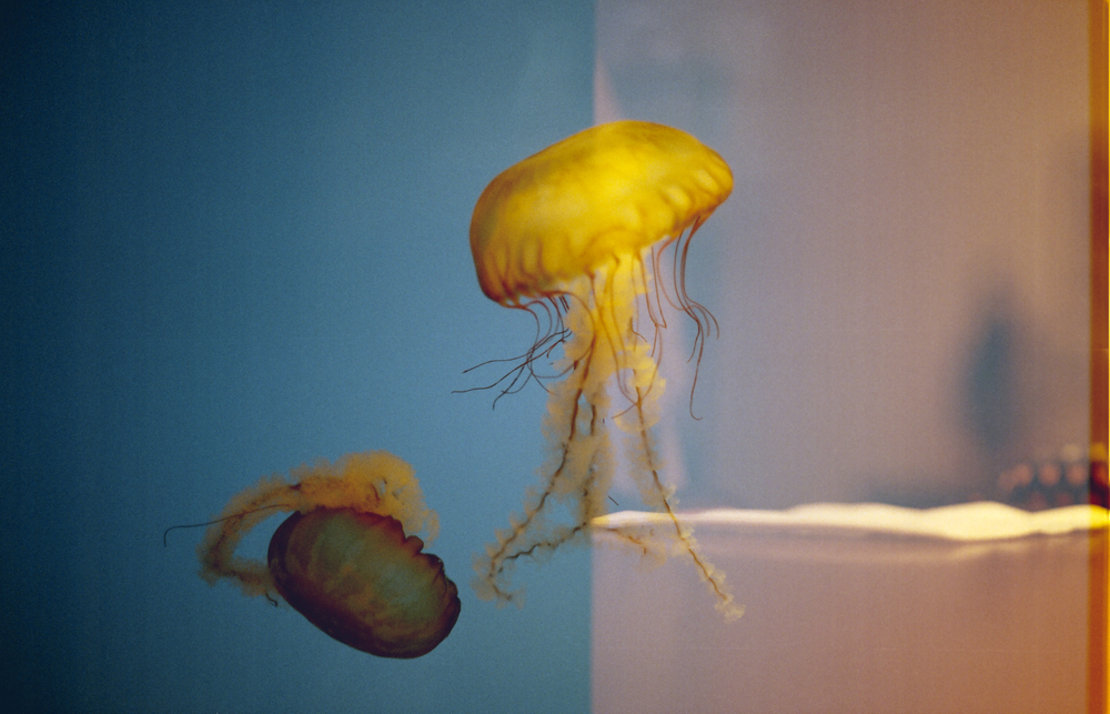 Double exposure of jellyfish at the National Aquarium in Baltimore, Maryland. Shot with Canon AE-1.