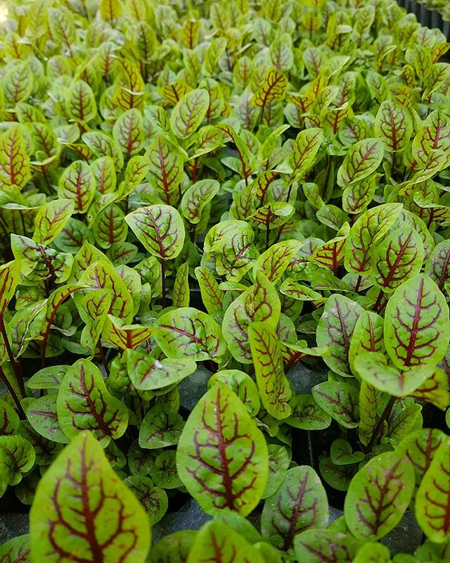 Sorrel by @laurbanfarms @niels_805 @uscedu