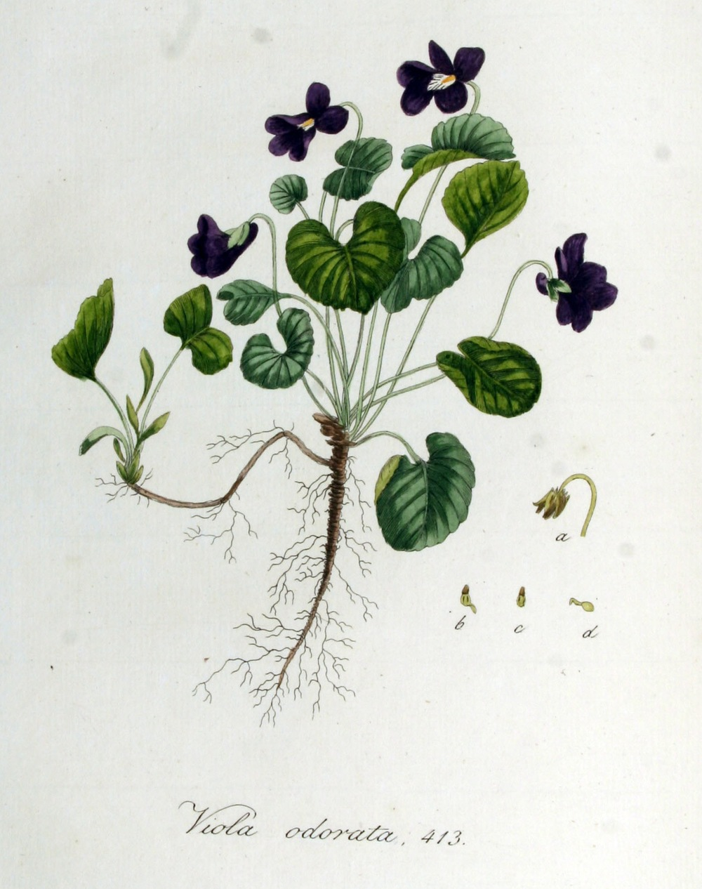 Violet Viola Odorata And Related Species Cambridge Naturals