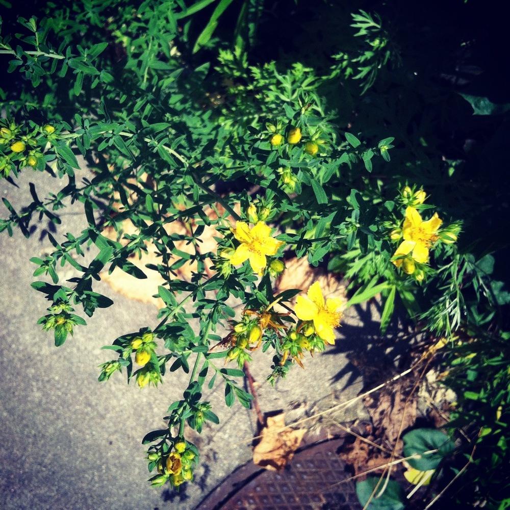 St Johns Wort Hypericum Perforatum An Herb For Body Spirit