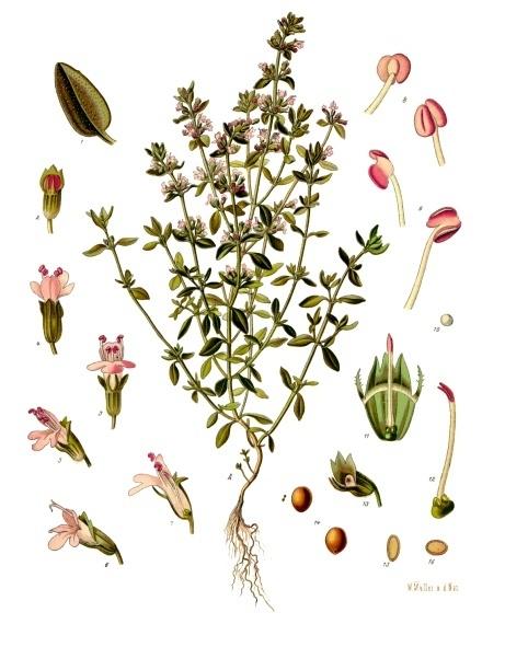 Franz Eugen Köhler, Köhler's Medizinal-Pflanzen