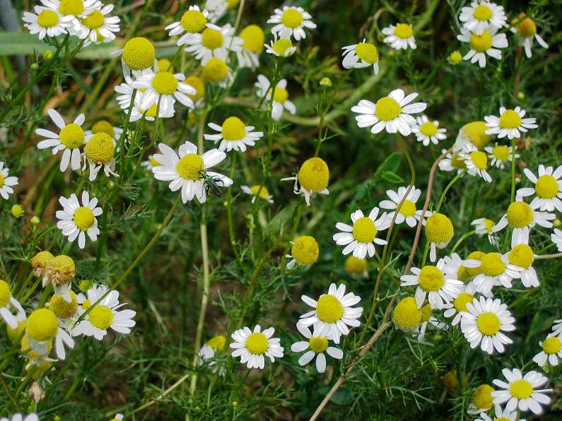 Image result for Chamomile herb