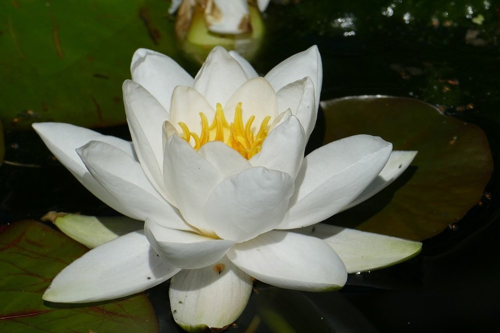 water-lily-blossom-bloom-nature-landscapes-9d83f6-1024.jpg