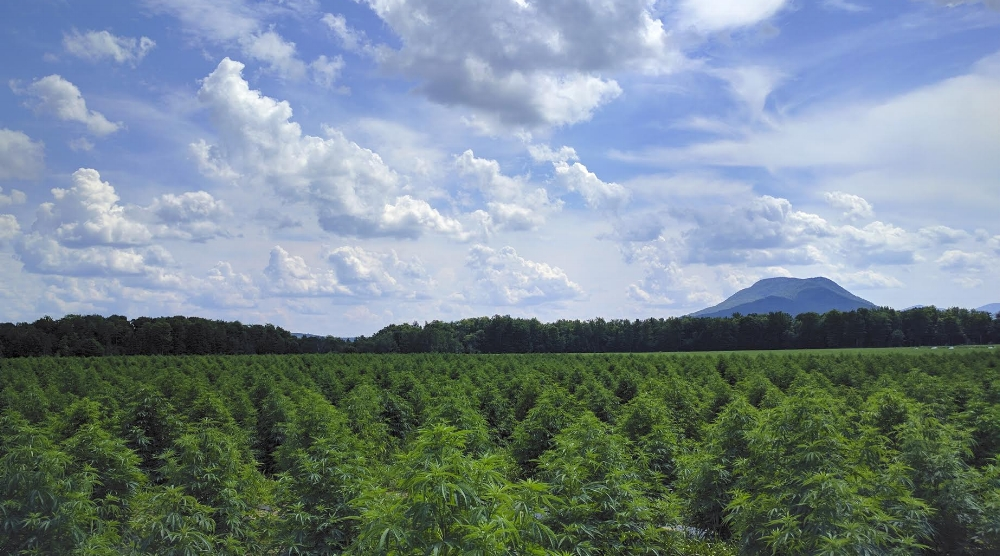 Beautiful fields of agricultural hemp from our partner SunSoil in VT.