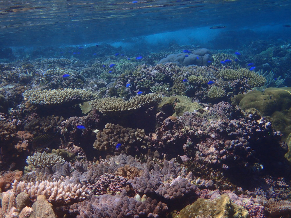 Coral and blue fish.JPG