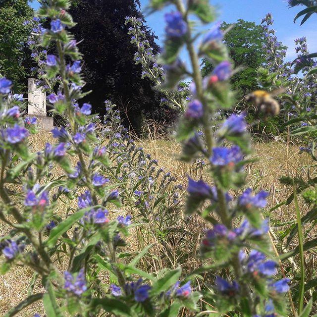 #Vipérine commune #Echium #vulgare #botanic #hummel #bourdon #melifere