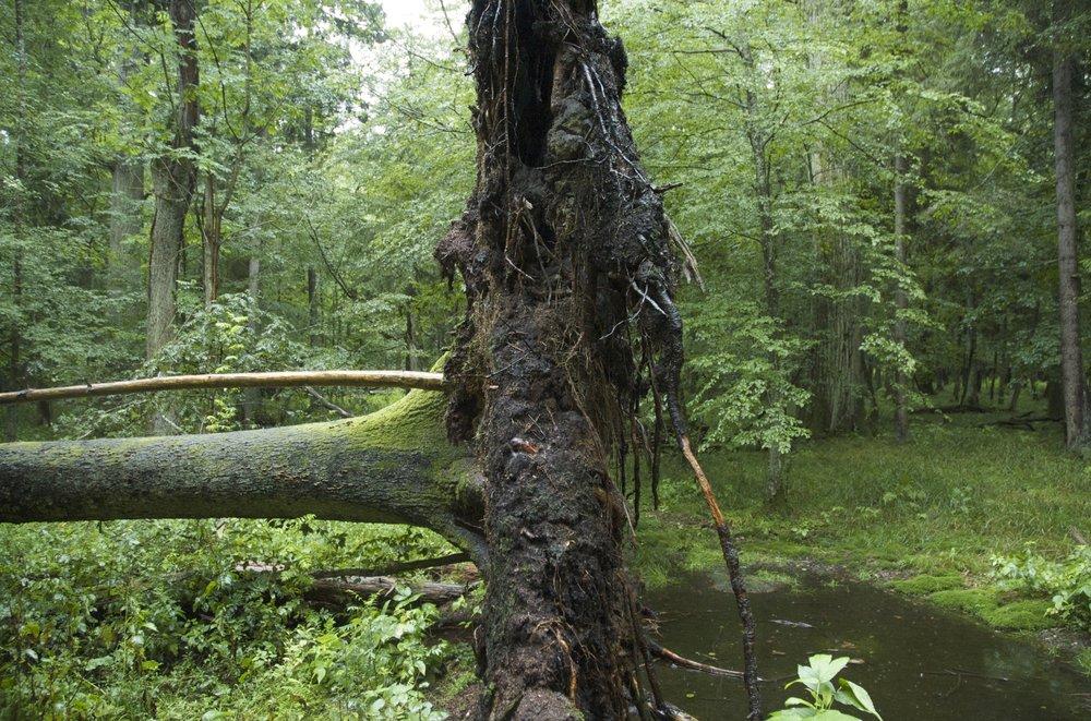 Bialowieza primary forest - Poland
