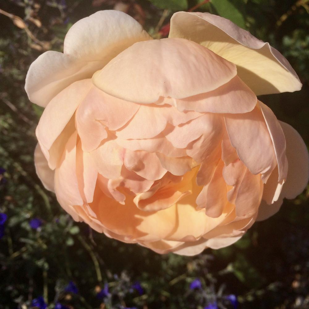 Villa Cora - Peach Rose.png
