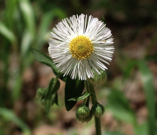 "Fleabane is in the Daisy Family. I was guided to take this essence recently, in a dream actually. According to David Dalton, Fleabane is appropriate for ""gender-related prejudices; helps reassemble the feminine side after being damaged or suppressed."" I've also come across its use as a remedy for depression."