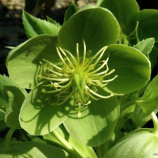Green Helebore, of the  ‎Ranunculaceae  family