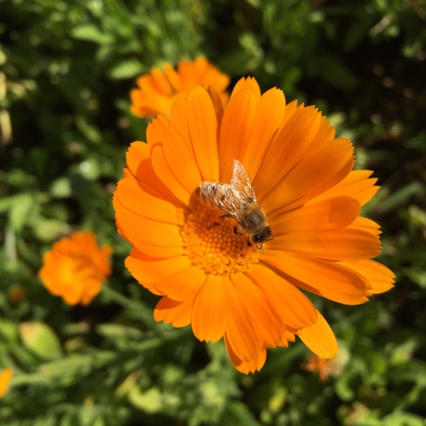 A bee stopping to commune with a Calendula flower, August 2016 at Terra Flora Gardens