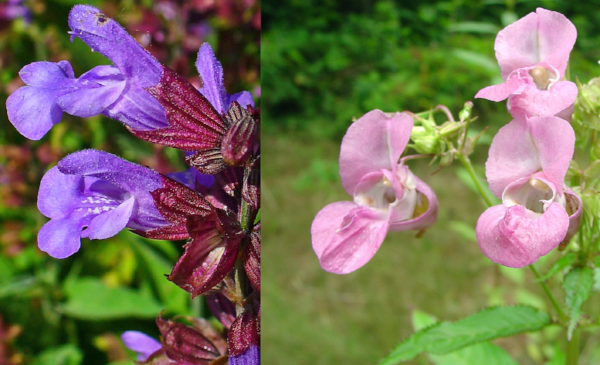 Sage,  Salvia officinalis  (left) and Impatiens,  Impatiens glandulifera  (right)