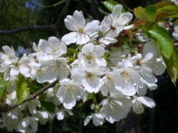 Wild Cherry, Prunus avium, who recently shared with me that loving oneself is the greatest gift you can give the world.