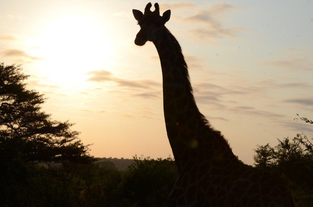 Giraffes 2 .jpg