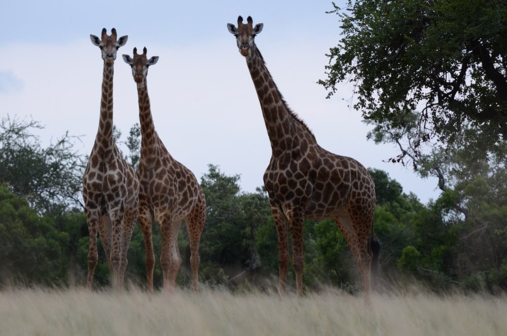 Giraffes, South Africa .jpg