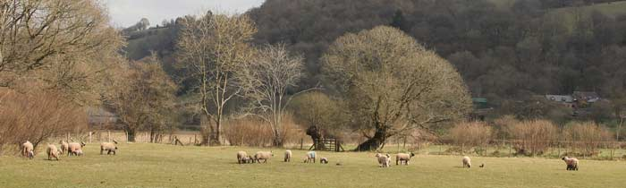 Clun Forest sheep in Clun Valley, Shropshire