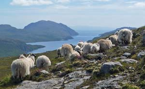 Hebridean Blackface wethers, Western Isles, Scotland