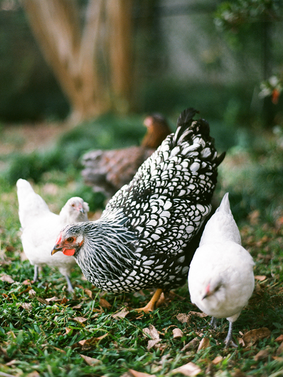 Backyard Chickens, Maison Everett Blog