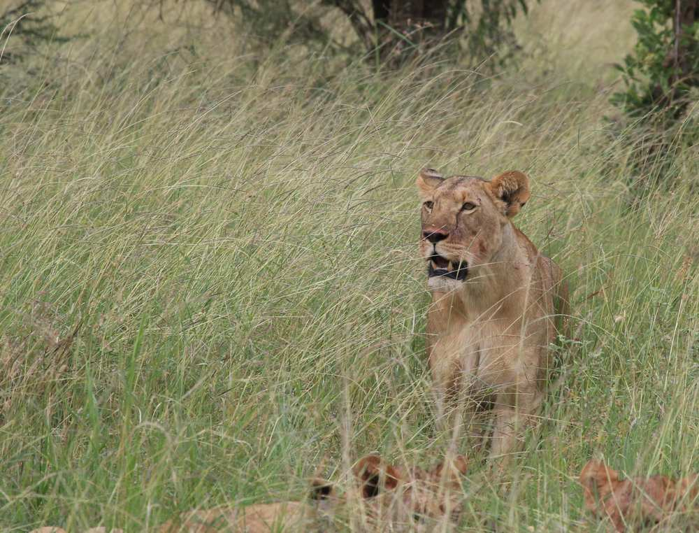 If you look closely, you can see blood on her cheek. Poor warthog. Simba got him.
