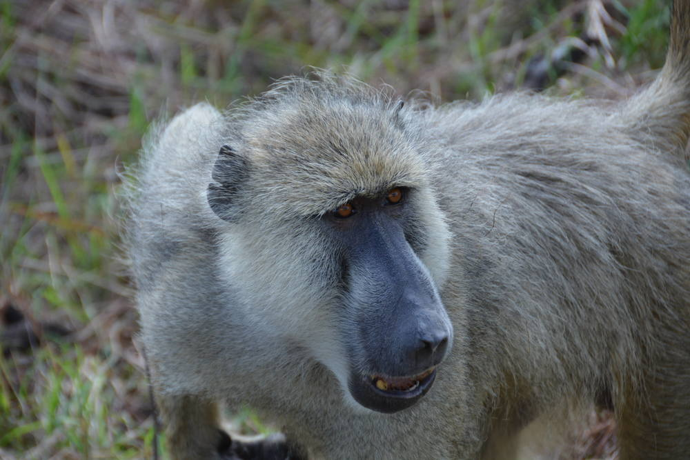 Baboons don't play