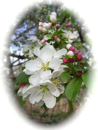 Crabapple Spring Returns