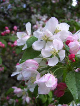Rainwashed Crabapple