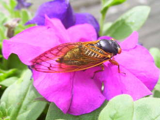 Cicada, Cicada, Crazy Cicada!