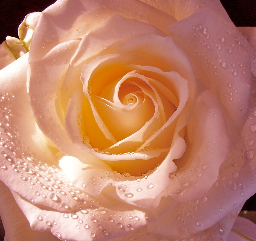 Rose 100_1332.jpeg