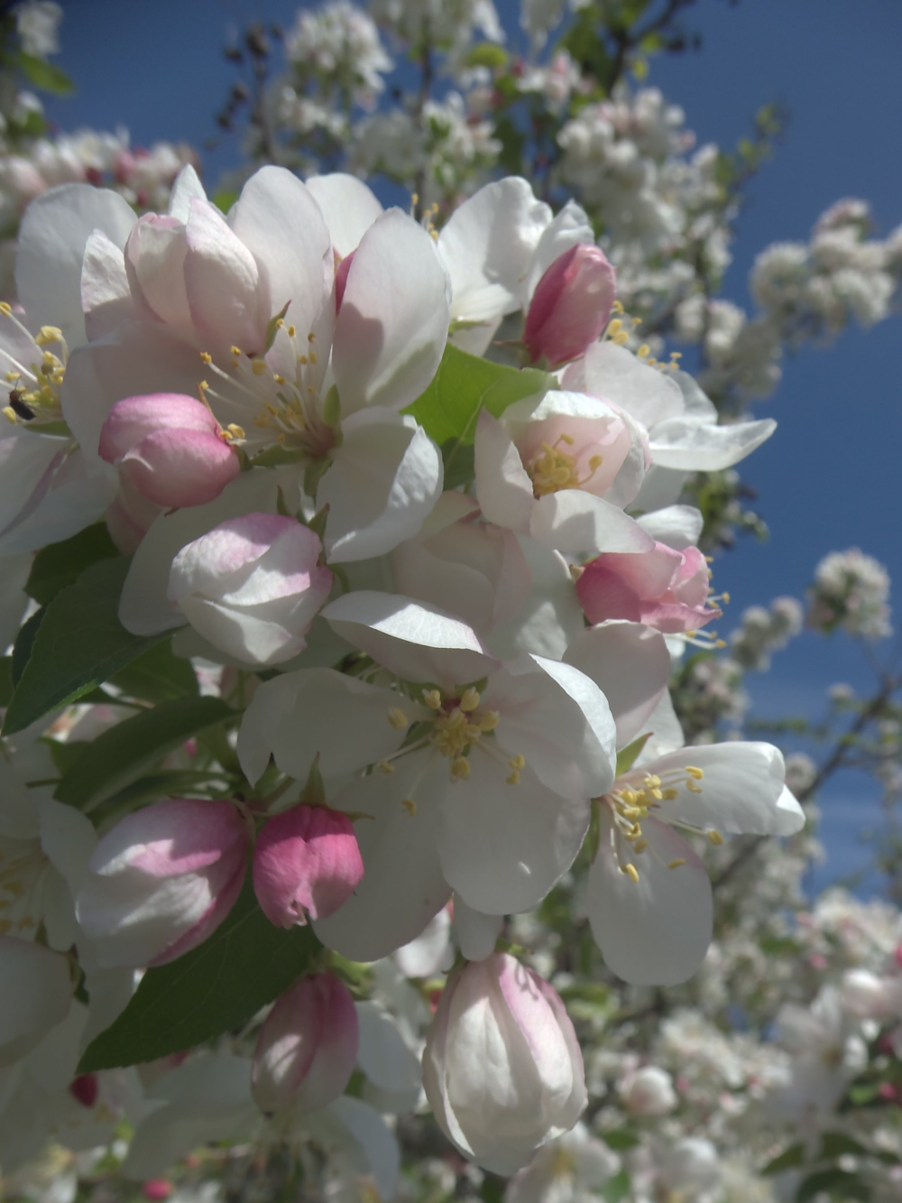 Apple blossom time ©candypaull.com