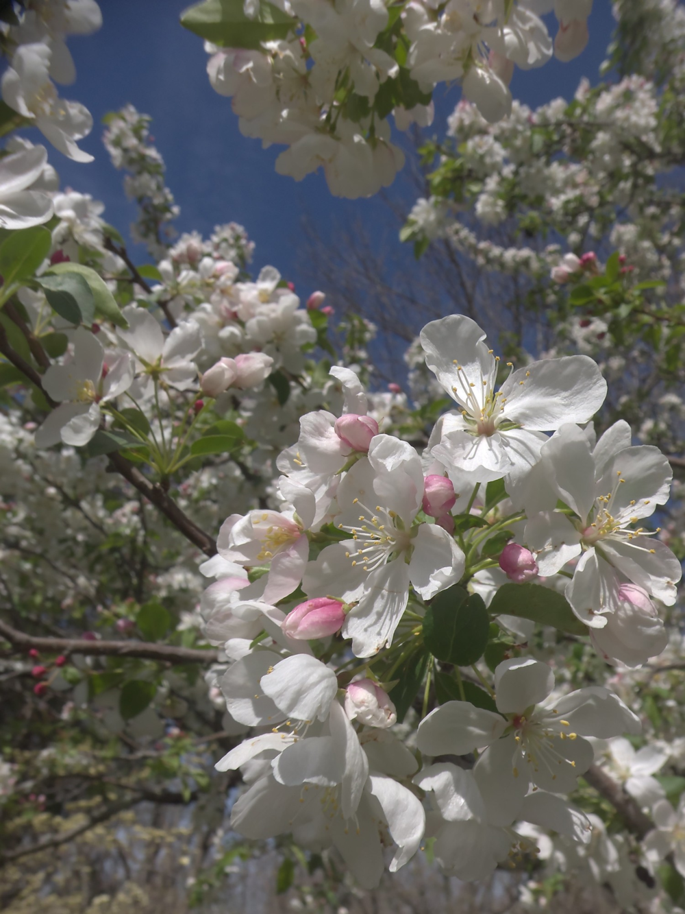 Apple Blossoms at Cheekwood ©candypaull.com