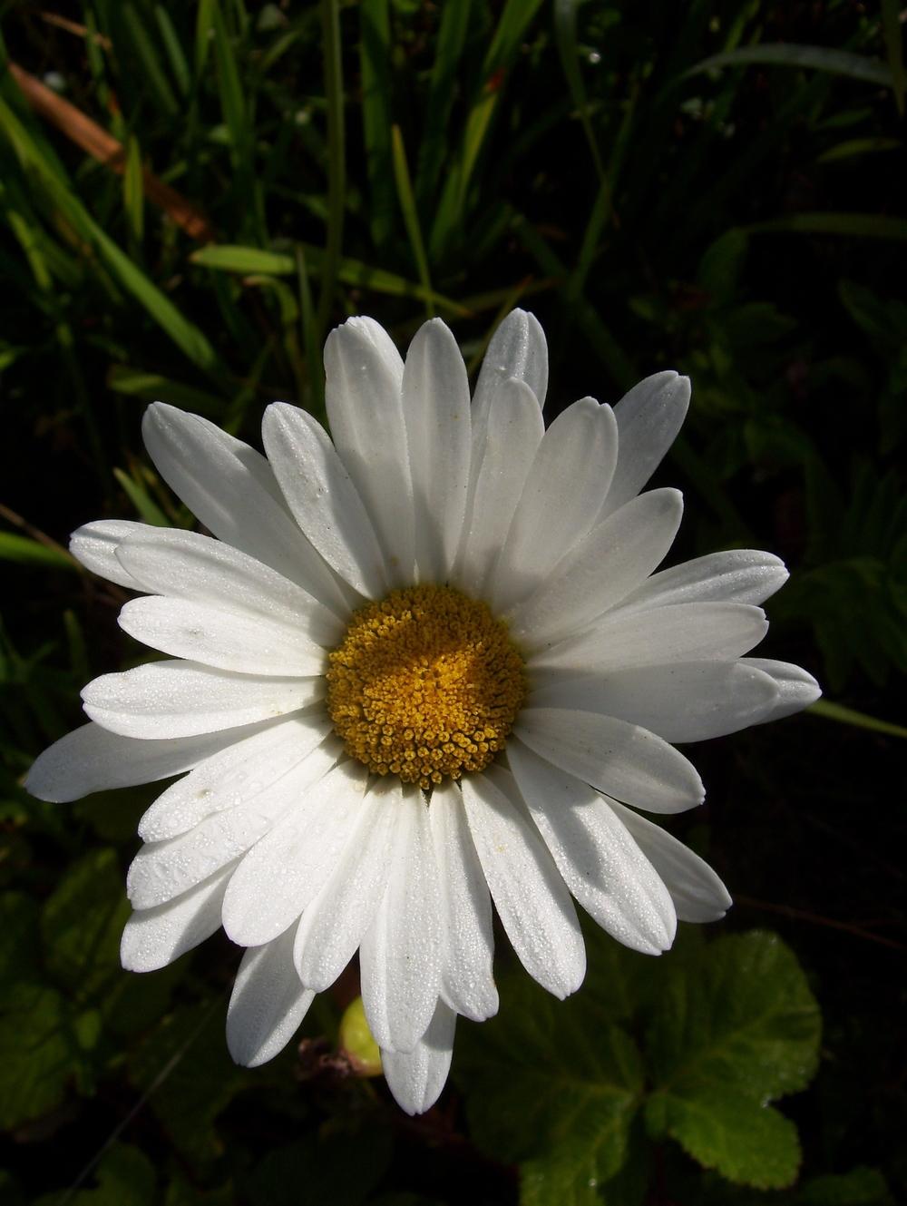 Daisy Inspiration