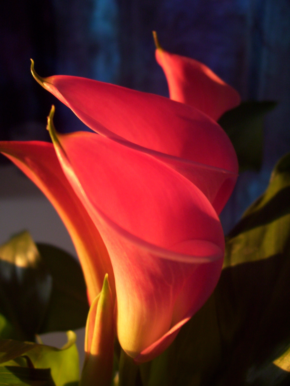 Calla Fire ©Candy Paull